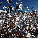 cotton nrcs